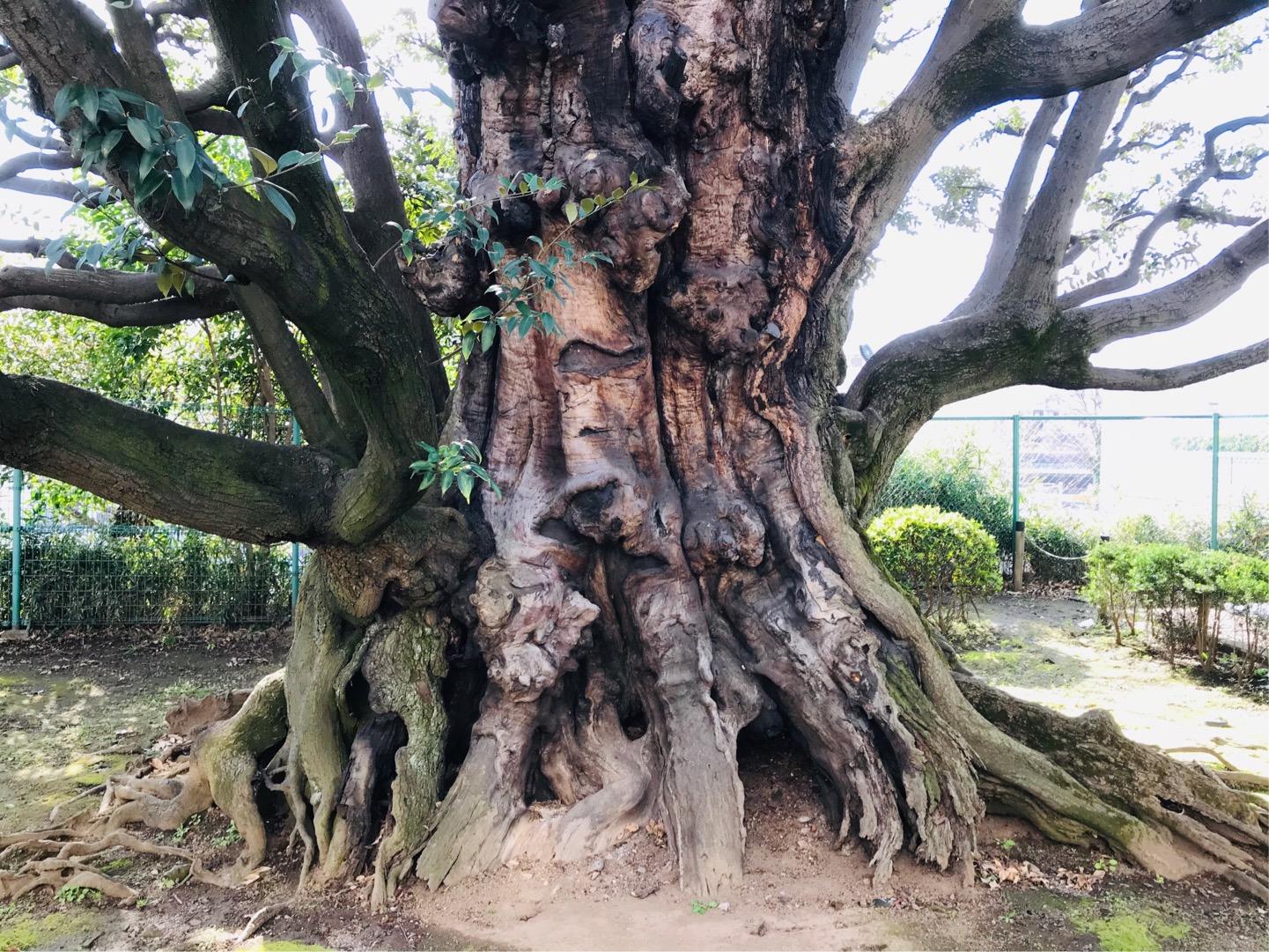 高輪皇族邸 旧細川邸のシイの巨木